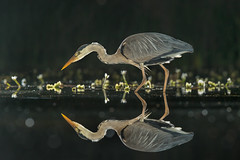 Night Heron (Andrew H Wildlife Images) Tags: