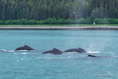 Synchronized (brendatharp) Tags: alaska usa scene synchronizedswimming icystraits nature wildlife mammal swimming humpback whale animals nobody ocean marine whales megapteranovaeangliae