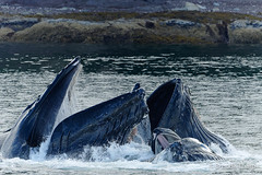 Humpback Whales Feeding (brendatharp) Tags: alaska lindblad pavlovharbor behavior nature fineartprint whale usa bubblenet southeast adventure humpback feeding travel walldecor marine cooperative mammal animals insidepassage wallart wilderness action megapteranovaeangliae whales