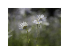 Catching the Light. (muddlemaker1967) Tags: hampshire nature photography ox eye daisies bokeh highlights wildflower fujifilm xt2 tamron sp 90mm f25 macro lens fotodiox adapter