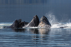 Cooperative Feeding, Humpback Whales. (brendatharp) Tags: tongassrainforest behavior mammal whale wild ocean insidepassage lungefeeding tongass outdoors teamwork alaska action group pod inside tongassnationalforest outdoor naturephotography southeast food wildlife nature bubblenet outside eating usa humpback animals feeding wilderness marine passage megapteranovaeangliae whales