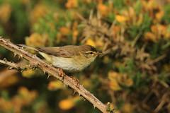 Willow warbler (jon lees) Tags: newtownards countydown northernireland whitespots lead mines willowwarbler gorse scrub
