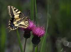 Swallowtail Butterfly Bokeh view large (#Dave Roberts#) Tags: butterfly how hill uk norfolk ludham insect bokeh june 2019 summer macro grass narsh marshy thistle water