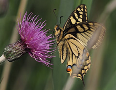 Swallowtail Butterfly How Hill NNR Norfolk UK (#Dave Roberts#) Tags: butterfly how hill uk norfolk ludham insect bokeh june 2019 summer macro grass narsh marshy thistle water