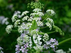 Woodland flowers (uncledougie) Tags: kletzschpark milwaukee glendale wisconsin nature vintage lens