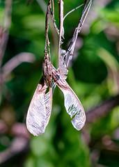 Seeds (uncledougie) Tags: kletzschpark milwaukee glendale wisconsin nature vintage lens