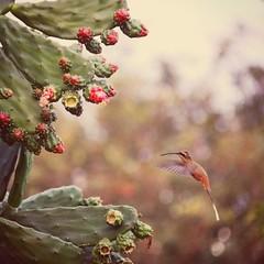 Beija-flor (Abraão Bruck Fotografia) Tags: bird pássaro bh belohorizonte natureza nature voo flor flower canon 80d