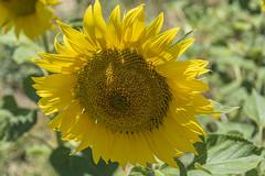 Girasol (susocl1960) Tags: flor macrofotografía