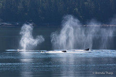 Backlit Breath, Humpbacks (brendatharp) Tags: alaska usa group breathing tongassnationalforest tongassrainforest breath southeast wild wildlife insidepassage humpback backlight tongass inside mammal animals wilderness passage marine whales megapteranovaeangliae whale