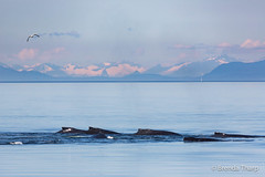 Pod of Humpbacks (brendatharp) Tags: alaska usa behavior pod inside tongassnationalforest mountains whale tongassrainforest wilderness humpback ocean southeast wild wildlife insidepassage scene swimming tongass mammal pristine animals marine group passage whales megapteranovaeangliae