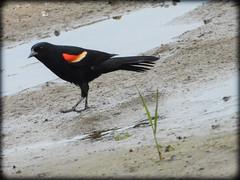DSCN6264 (DianeBerky19) Tags: nikon coolpixp1000 bird redwingedblackbird