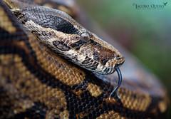 Boa constrictora/ Boa constrictor (Boa constrictor imperator) (Jacobo Quero) Tags: boaconstrictor boaimperator serpiente snake animal reptil reptile herping