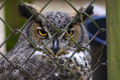 Great Horned Owl (mbinebrink) Tags: hashawha raptor raptorsanctuary bird birdofprey fuji fujifilm 100400mm owl greathornedowl feathers birdphotography animalportrait bearbranchnaturecenter