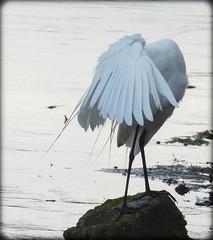 DSCN6365 (DianeBerky19) Tags: nikon coolpixp1000 bird egret greategret highkey
