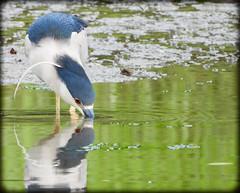 DSCN6309 (DianeBerky19) Tags: nikon coolpixp1000 bird blackcrownednightheron heron