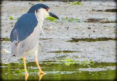 DSCN6296 (DianeBerky19) Tags: nikon coolpixp1000 bird blackcrownednightheron heron