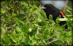 DSCN6262 (DianeBerky19) Tags: nikon coolpixp1000 bird redwingedblackbird