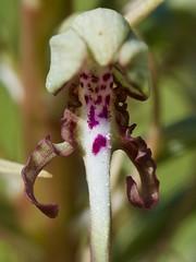 orchis bouc (himantoglossum hircinum) (pierre.pruvot2) Tags: france gx80 olympus60mmmacro panasonic pasdecalais sangatte fleur macro flower orchid orchidée