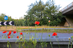 Roundabout (nicklucas2) Tags: landscape ringwood hampshire poppy flower road roundabout