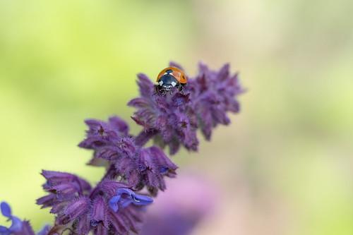 Pastel - ladybug