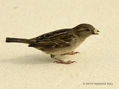 Grasshopper Sparrow (© Freddie) Tags: aruba oranjestad renaissanceisland bird sparrow grasshoppersparrow fjroll ©freddie