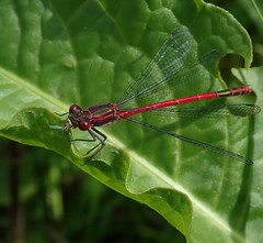 large red damselfly Pyrrhosoma nymphula (BSCG (Badenoch and Strathspey Conservation Group)) Tags: insect june odonata damselfly pyrrhosoma