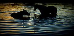 Noitezita (Eduardo Amorim) Tags: cavalos caballos horses chevaux cavalli pferde caballo horse cheval cavallo pferd cavalo cavall tropilla tropilha herd tropillas tropilhas 馬 حصان 马 лошадь crioulo criollo crioulos criollos cavalocrioulo cavaloscrioulos caballocriollo caballoscriollos pôrdosol poente entardecer poniente atardecer sunset tramonto sonnenuntergang coucherdesoleil crepúsculo anoitecer pelotas costadoce riograndedosul brésil brasil sudamérica südamerika suramérica américadosul southamerica amériquedusud americameridionale américadelsur americadelsud brazil eduardoamorim barragem açude barrage dam damm aguada diga