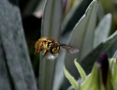Wool Carder Bee carrying leaf fuzz (Neva Swensen) Tags: woolcarderbee leaffuzz bee garden