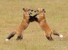 ND5_9952 I'm Tougher than You (Wayne Duke 76) Tags: foxes foxkits playtime learningskills friendlycombat