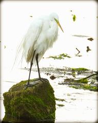 DSCN6366 (DianeBerky19) Tags: nikon coolpixp1000 bird egret greategret highkey