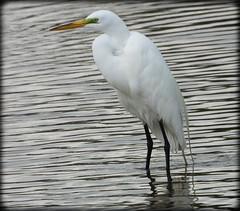 DSCN6334 (DianeBerky19) Tags: nikon coolpixp1000 bird egret greategret