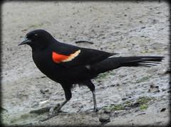 DSCN6265 (DianeBerky19) Tags: nikon coolpixp1000 bird redwingedblackbird