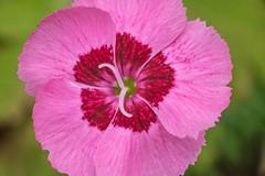 Curves- (NedraI) Tags: macro macromondays curves pink dianthus flower petals spring styles