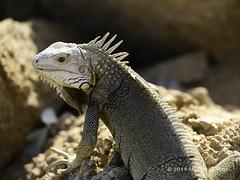 Iguana (© Freddie) Tags: aruba lizard iguana oranjestad fjroll ©freddie reptile