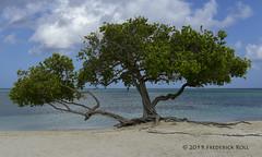 Divi-Divi Tree (© Freddie) Tags: aruba oranjestad dividivitree fjroll ©freddie