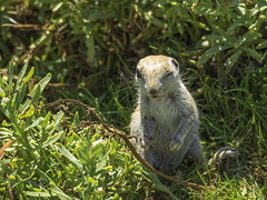 P6017620 (whyworry2010) Tags: groundsquirrel coyote wildlife seaofcortez mexico northern