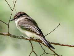 Eastern Phoebe (Backyardzoo2) Tags: 20181116 bird eastern phoebe