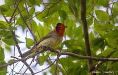 Is his face red! (Photosuze) Tags: warblers rarity vagrant redfacedwarblers male birds avians aves nature wildlife animals