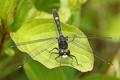 Visage pâle / Whiteface (alainmaire71) Tags: insecte insect odonata odonate libellule dragonfly libellulidae leucorrhiniaintacta leucorrhinemouchetée dottailedwhiteface nature quebec canada