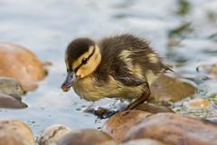 Mallard - Duckling (Turk Images) Tags: anasplatyrhynchos dabblingduck alberta anatidae birds duckling mall mallard waterfowl