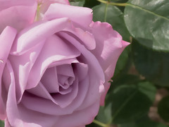 Rose (upjohn_freak) Tags: rose rosa flower fleur fiore purple queenrose