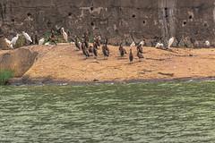 ASILO ANIMALI GIOVANI    ---   KINDERGARTEN YOUTH ANIMALS (Ezio Donati is ) Tags: animali animals uccelli birds natura nature acqua water fiume river animaligiovani juvenileanimals westafrica costadavorio areataabo digasulbandama