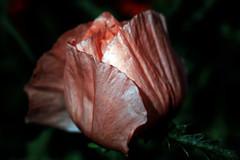pink poppy (oldogs) Tags: flower poppy orientalpoppy pink texture pinkflower