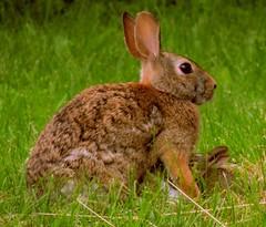 Mama feeding babies (S.E.A. Photography) Tags: kits wildlife nature mama feeding animals babies rabbit bunny