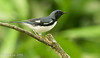 Azulita -Setophaga caerulescens- Black-throated Blue Warbler