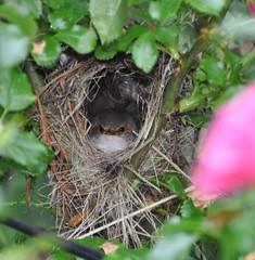 waiting for my dinner (glennisb) Tags: nature bird juvenile eastern blue wren eyes roses garden nest spring
