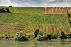 Vines along The Rhine (Jill Clardy) Tags: cruise europe rhine viking river 201905319l8a4744 wine vineyard vines farming agriculture