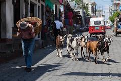 Goats and Man on village street. (brendatharp) Tags: guatemala market streetscene street people city cultural destination streetlife culture man busy santiagodeatitlán latin travel goats traveldestination centralamerica adventure male urban