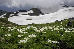 山のお花畑と眠る湖 (yoko.wannwannmaru) Tags: dsc0058 鳥海湖 ハクサンイチゲ 雪 山 湖