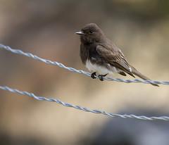 Bird on wire (San Diego Shooter) Tags: zoo zoos animal animals sandiegozoo bokeh sdzoosafaripark